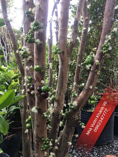 Cây nho thân gỗ Nam Mỹ - trái chi chít từ gốc đến ngọn