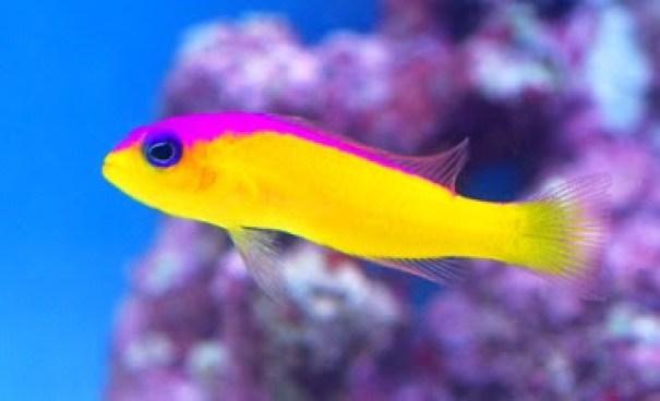 Dunia Ikan Hias - Dottyback
