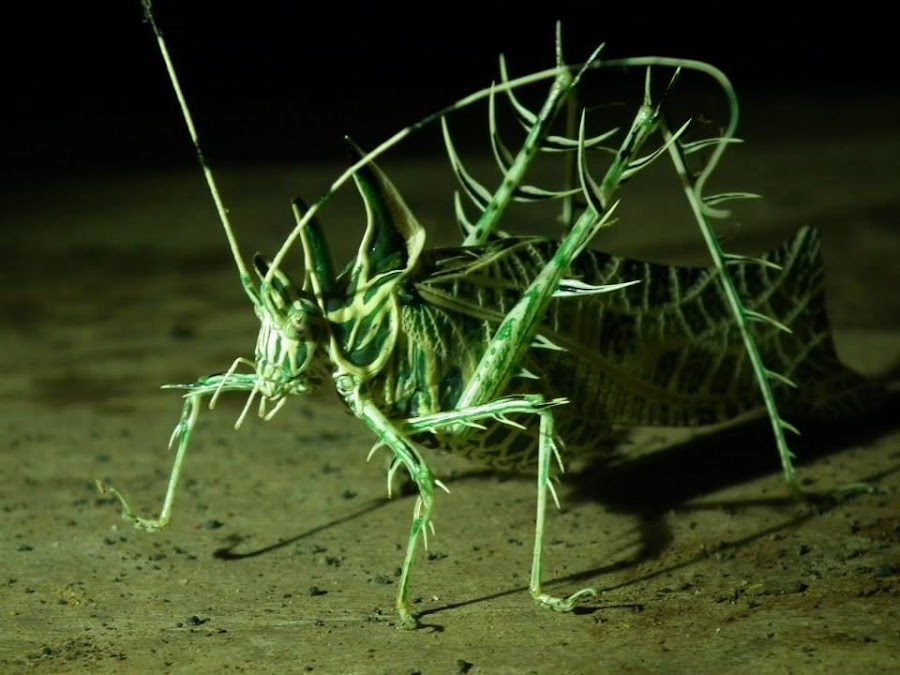SALTAMONTES CON ESPINOS - PIERCED GRASSHOPPER