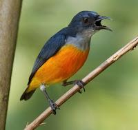 Download dan Dengarkan 3 Jenis Suara Burung Cabai