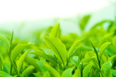 daun teh hijau - 11 Rahasia Kesehatan Dibalik Kesegaran Teh Hijau