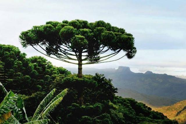 Essa araucária é precisamente um exemplo claro de que a vegetação é um presente do planeta para nós
