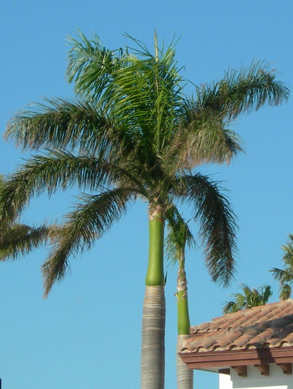 Home And Garden : Roystonea regia