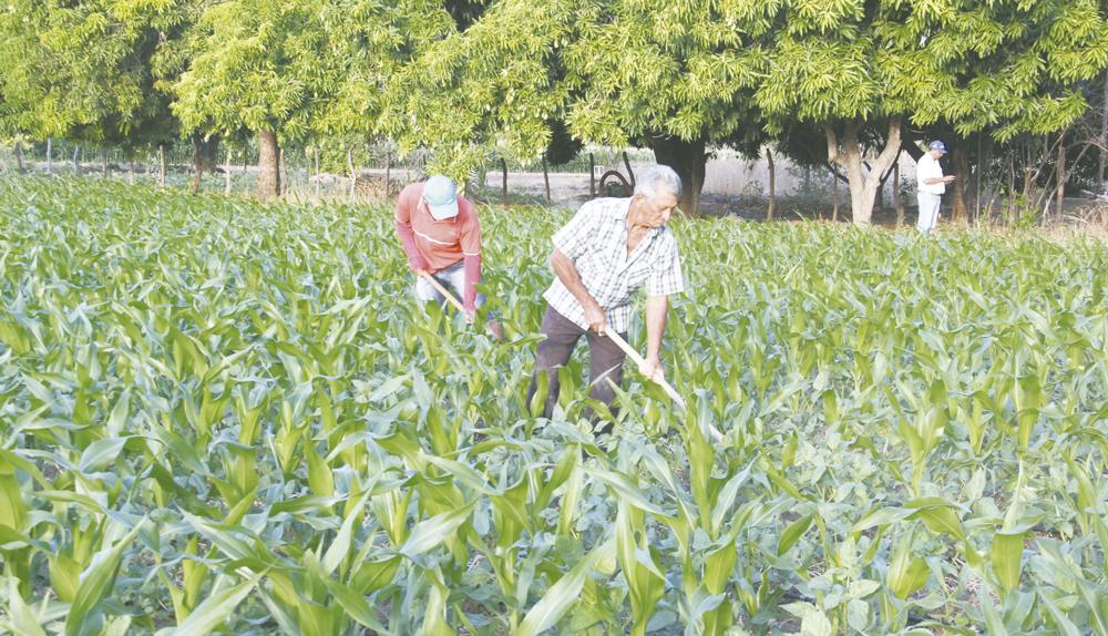 Produção de milho em meio à seca