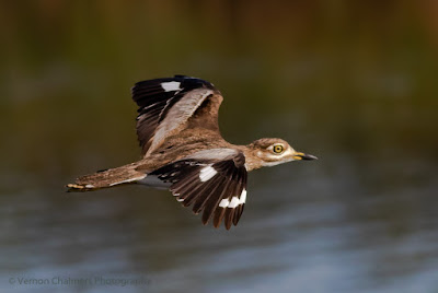 Canon EOS Setup and Tips For Birds in Flight Photography