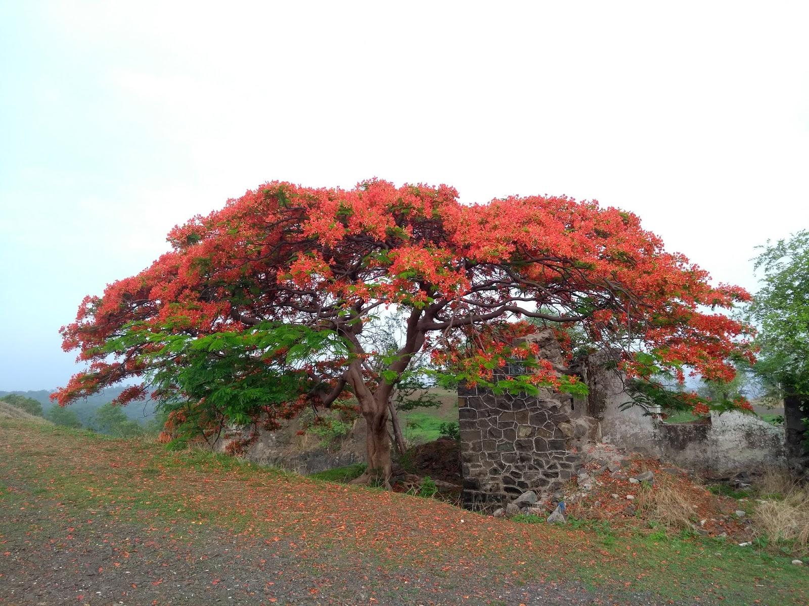 Mayflower, summer, Pune, trees
