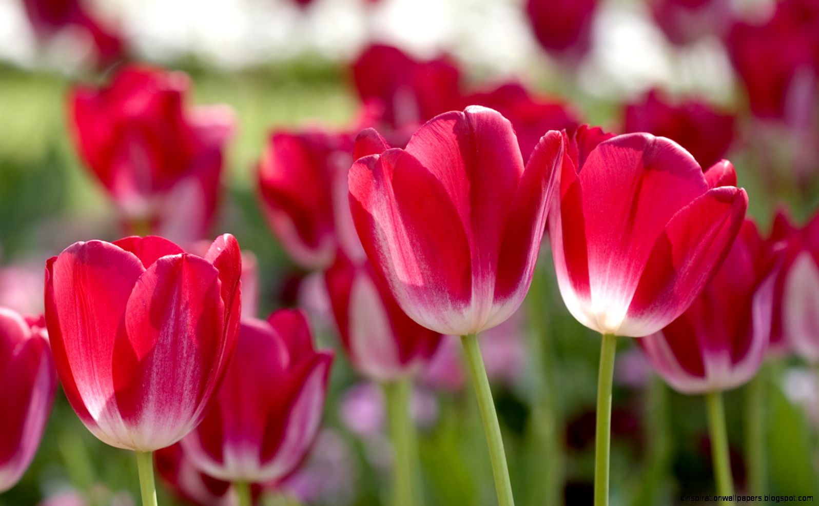 Flowers Wallpaper Red Tulips Inspiration Wallpapers