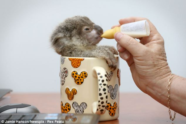 Cute baby koala was found abandoned on a roadside (5 pics ...