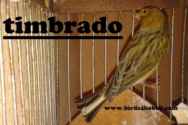 كناري التيمبرادو الإسباني