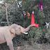 ΕΛΕΥΘΕΡΟΣ ΜΕΤΑ ΑΠΟ 55 ΧΡΟΝΙΑ! Ελέφαντας γιόρτασε τα Χριστούγεννα...