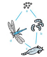materi ajar ipa penjelasan tentang metamorfosis tidak sempurna pada belalang, kecoa dan capung