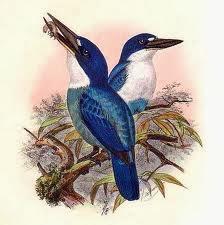 Alción lapizlázuli Todiramphus lazuli