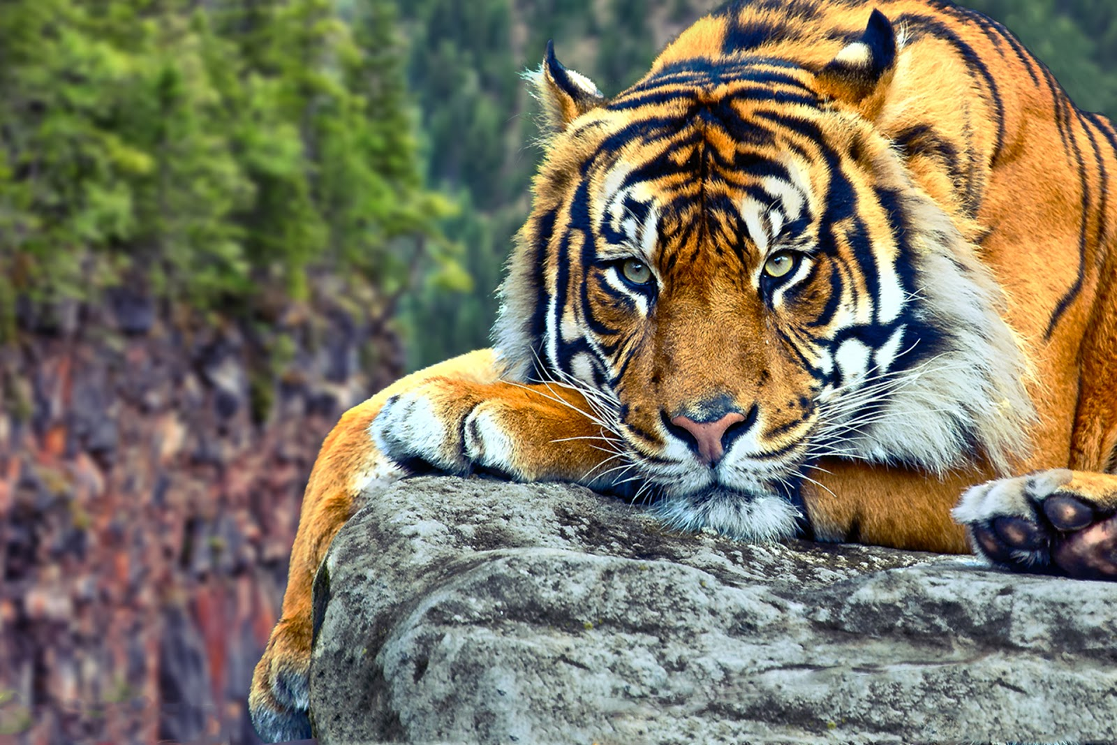 106 Tiger Wallpapers   Most beautiful places in the world ... - photo#39