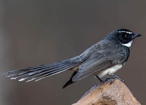 Birds of India - Image of White-throated fantail - Rhipidura albicollis
