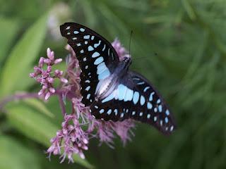 Graphium doson - Papilio doson