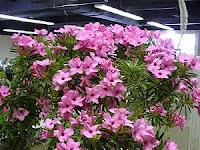 Jenis Bunga Adenium Terbaru