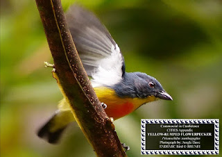 Yellow-Rumped Flowerpecker @Brunei