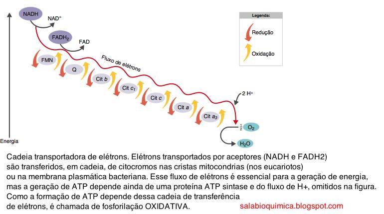 Image result for nad fad crista mitocondrial