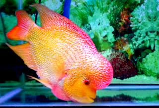 Jenis ikan louhan bonsai srd