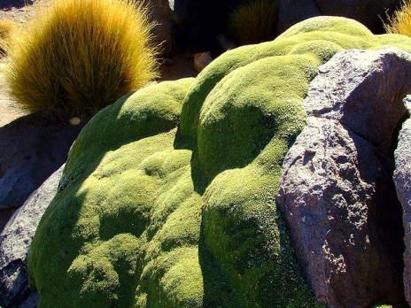 Yareta la planta de a os de antig edad que parece for Algo fuera de serie