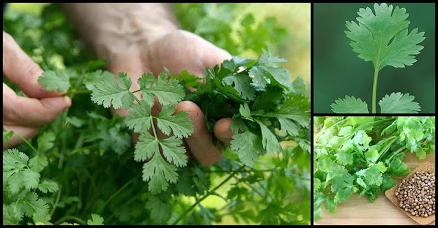 Manage Diabetes, Fight Cancer, And Maintain Heart Health With Coriander