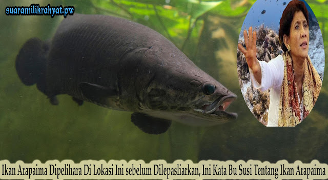 Ikan Arapaima Dipelihara Di Lokasi Ini sebelum Dilepasliarkan, Ini Kata Bu Susi Tentang Ikan Arapaima