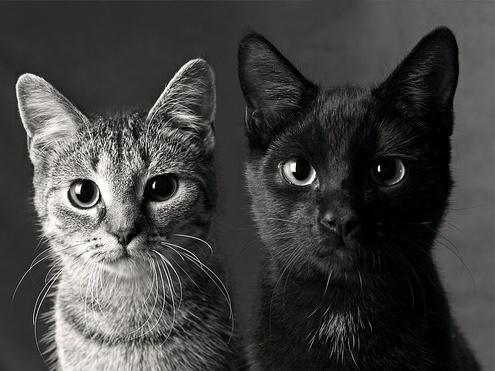 Gambar Kucing Termasuk Ke Dalam Jenis Gambar godean.web.id