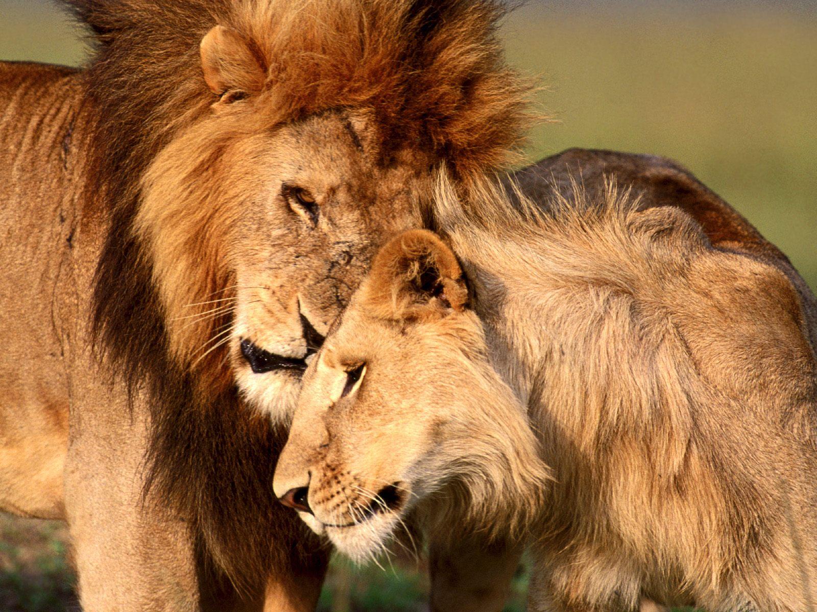 Lion wallpapers for desktop funny animal - Lion wallpaper ...