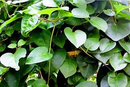 Tanaman Herbal Alami Untuk Menyamarkan Luka Keloid