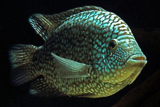 Herichthys Carpintis