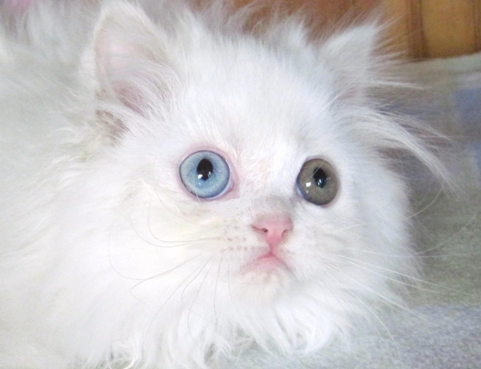 persian kitty adult link