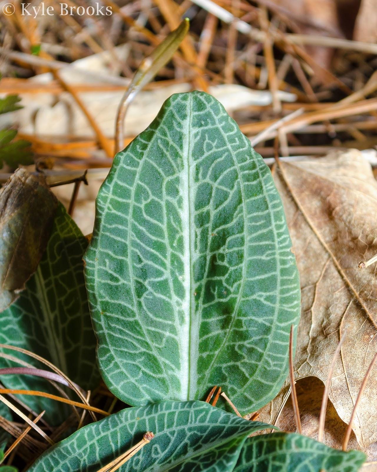 Goodyera pubescens leaf