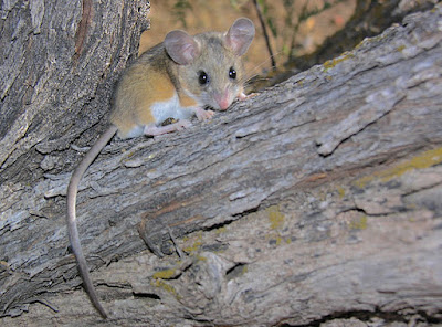 The deer mouse in Nebraska is being falsely called an example of evolution.