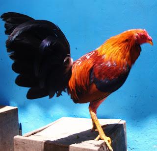 las mejores peleas de gallos finos, alimentar gallos de pelea, huevos de gallinas finas, gallos en mexico, primeras galleras