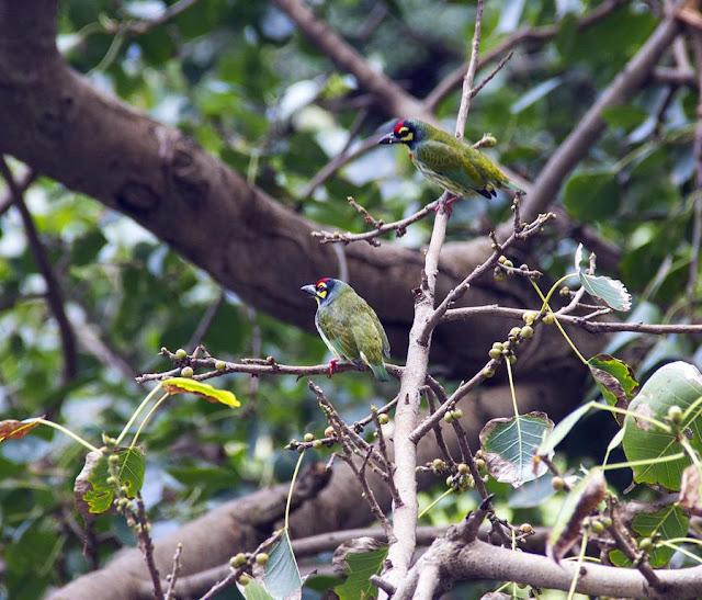coppersmith barbets, tree, bandra east, mumbai, india, birds,