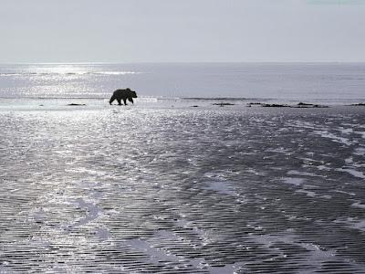 bears normal resolution hd desktop background wallpaper 17