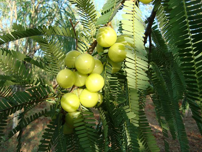 Cure Common Health Problems with Amla (Indian Gooseberry ...