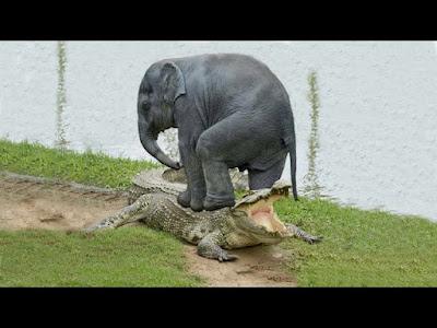 الحياة البرية مواجهة بين الفيل و التمساح . لن تصدق من الفائز