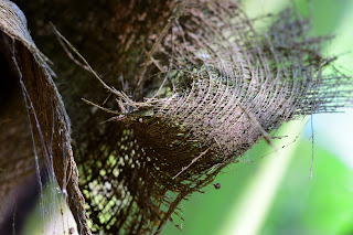 coconut palm fiber