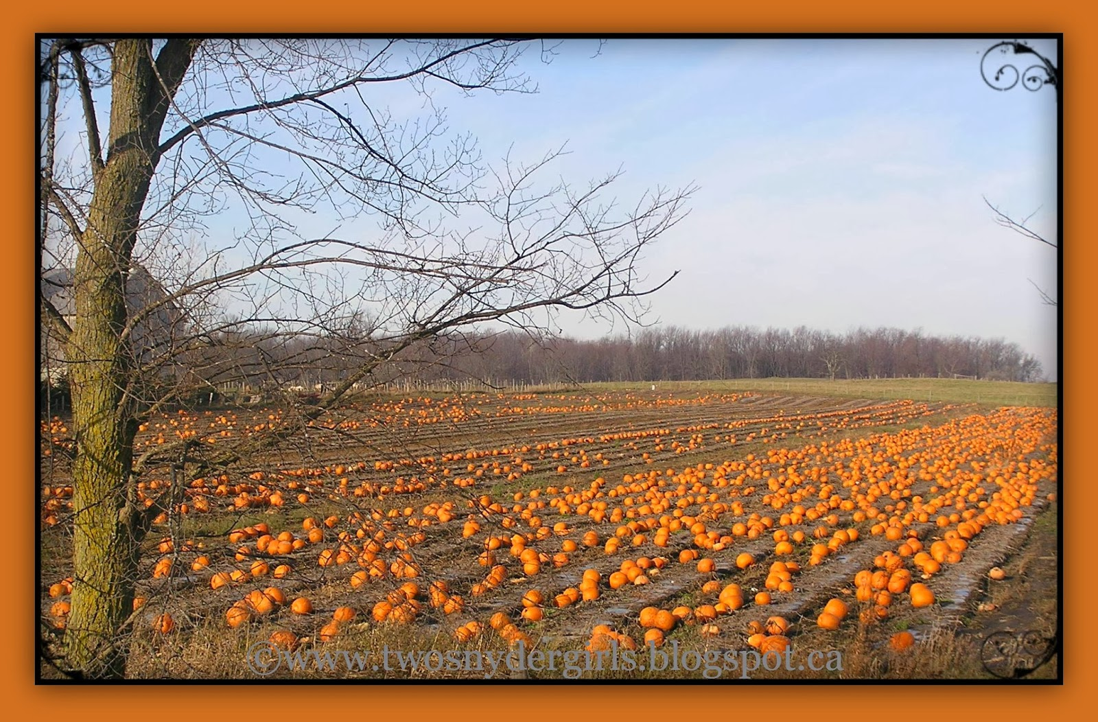 Pumpkins in fall field
