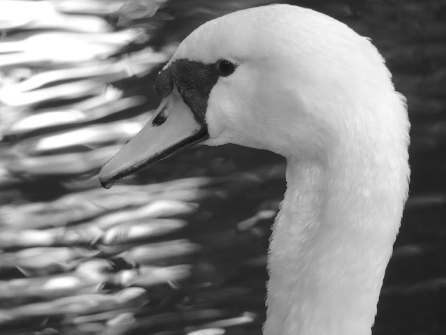 BIRD PORTRAITS#3 SWAN