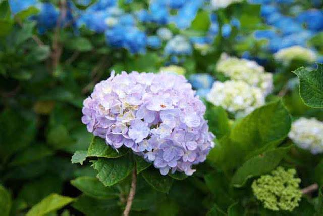 Close-up of a hydrangea blossom