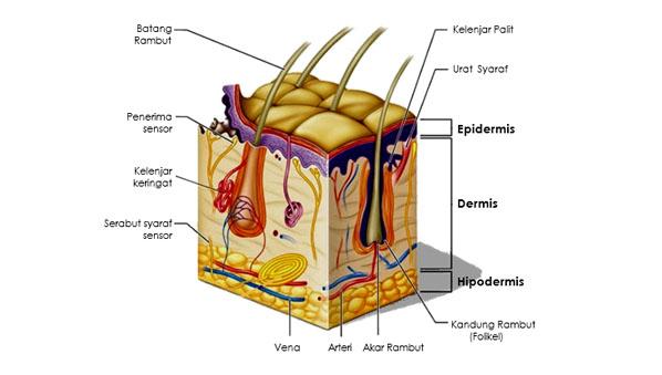 Bagian-bagian Kulit dan Fungsinya
