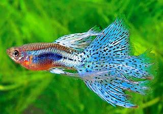 budidaya ikan guppy albino
