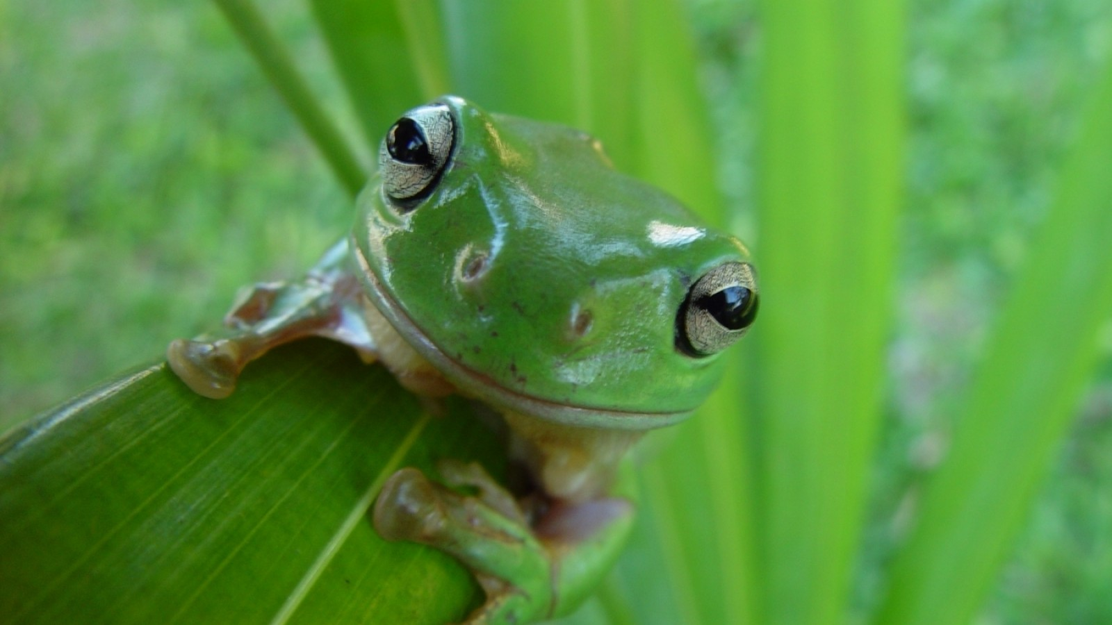 Android Phones Wallpapers: Android Wallpaper Frog
