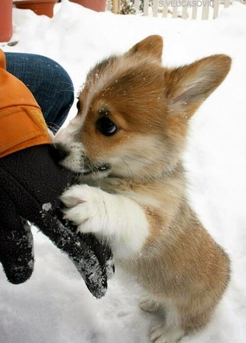 Little Corgi Pup