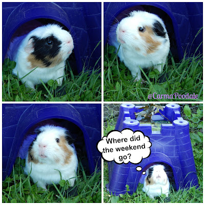 collage of a guinea pig