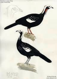 Blue throated Piping-guan