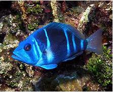 Ikan Hias Air Laut Hamlet fish