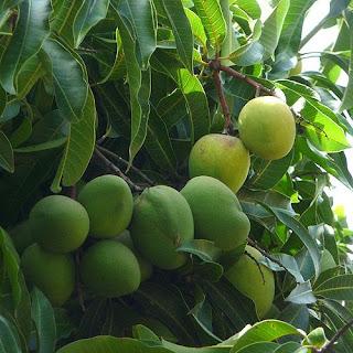 teknik budidaya buah mangga
